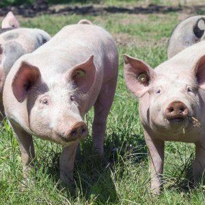 SARL Barat - cochons et porcs